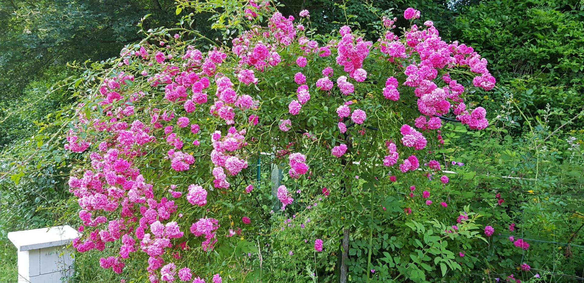 rosebush stalk